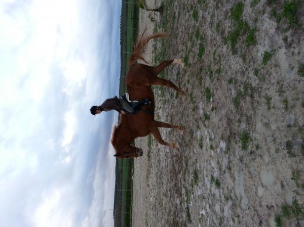 Comprar caballo ready silla franc s salto alaz n en venta - Caballo silla frances ...