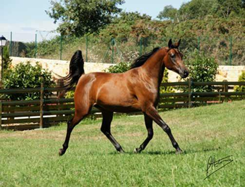 Comprar caballo ww nelita rabe crianza casta o for Sexo gratis pamplona