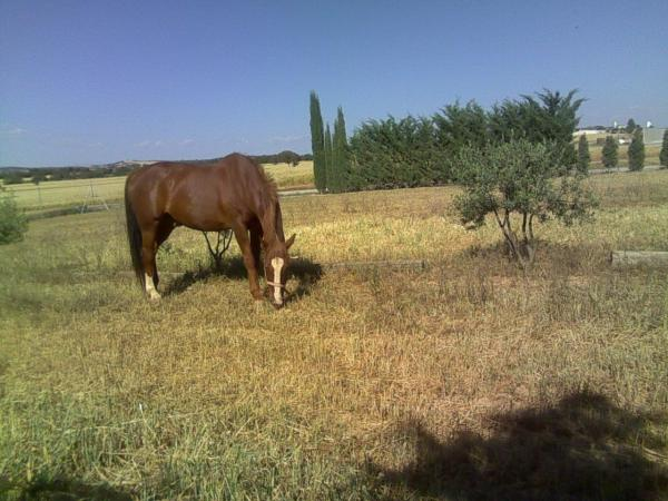 Comprar caballo romero silla franc s salto alaz n en venta - Caballo silla frances ...