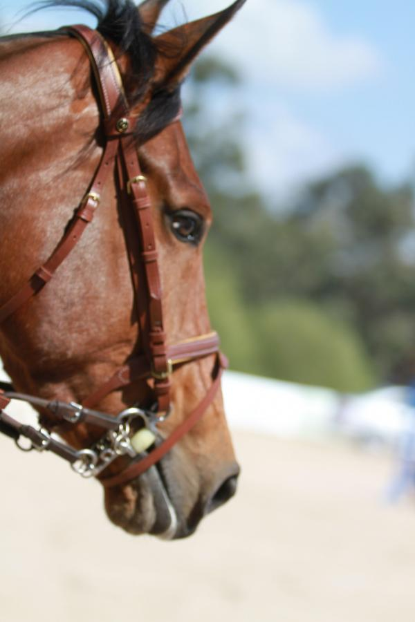 Comprar caballo queen des sources silla franc s salto casta o en venta - Caballo silla frances ...