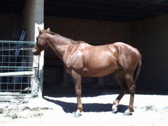 Comprar caballo (alabama), (Cuarto de Milla Americano), (Paseo ...