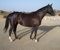 Comprar caballos listado de caballos en venta - Caballo silla frances ...