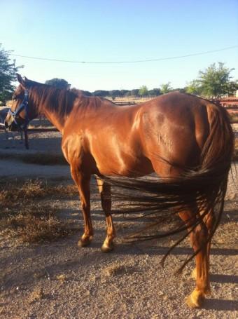 Comprar caballo (Marti), (Cuarto de Milla Americano), (Completo ...