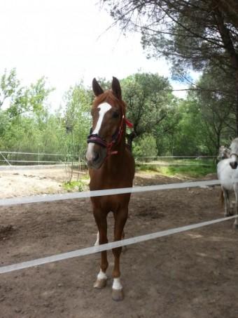 Comprar caballo rumboso del duero silla franc s salto alaz n en venta - Caballo silla frances ...