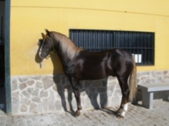 Comprar caballo (Fandi), (Cuarto de Milla Canadiense), (Doma vaquera ...