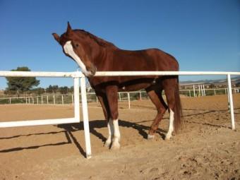 Comprar caballo (Palermo), (Cuarto de Milla Americano), (Salto ...